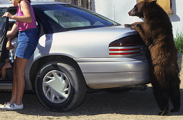 Juvenile American black bear (Ursus americanus), brown phase, standing upright and leaning on a car, Denver, Colorado, USA, July.