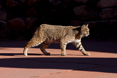 American bobcat (Lynx rufus) walking on a pavement in  Denver, Colorado, USA, December.