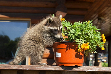 Raccoon (Procyon lotor) digging soil out of a flowerpot, Minnesota, USA, May.