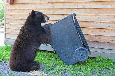 Black bear (Ursus americanus)  looking for food in a bin, Minnesota, USA, May.