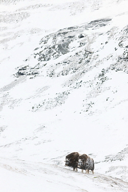 Muskox (Ovibus moschatus)  in the Dovrefjell-Sunndalsfjella National Park, Norway. February