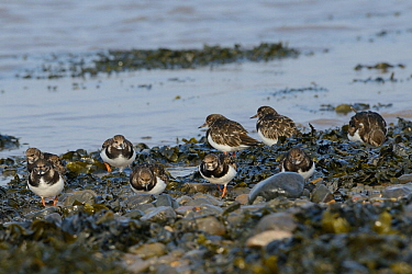 Turnstones (Arenaria interpres) foraging among pebbles and Bladder wrack (Fucus vesiculosus) on a falling tide, Severn estuary, Somerset, UK, March.