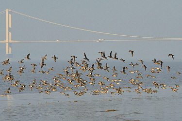 Wigeon (Anas penelope) flock flying lower over mudflats with the First Severn Crossing bridge in the background, Severn estuary, Somerset, UK, March.
