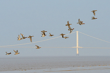 Wigeon (Anas penelope) flock flying past the First Severn Crossing bridge, as Common teal (Anas crecca) and Curlew (Numenius arquata) forage on the tide line, Somerset, UK, March.