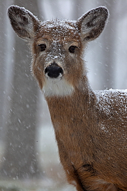 White-tailed deer (Odocoileus virginianus) in snow, New York, USA, winter