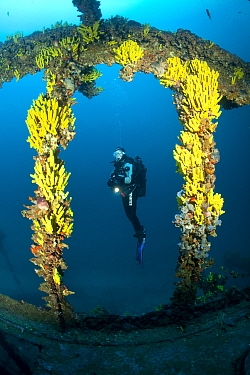 Scuba diver and yellow sponges (Aplysina cavernicola) on Brioni Steamship wreck, Vis Island, Croatia, Adriatic Sea, Mediterranean. Model released.