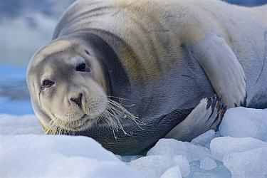 Bearded seal (Erignathus barbatus) hauled out on ice floe, Svalbard, Norway. July.