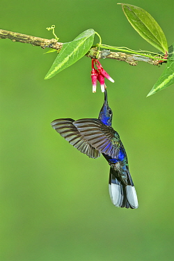 Violet sabrewing  hummingbird (Campylopterus hemileucurus) adult male, feeding in flight.    Costa Rica.
