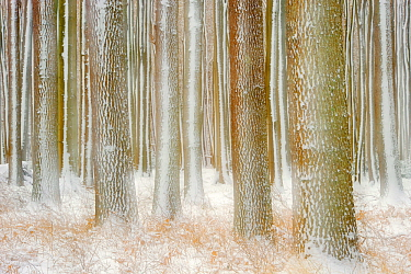 European beech (Fagus sylvatica) and English oak (Quercus robur) woodland, artistic shot of tree trunks in winter, Gespensterwald Nienhagen, Germany, January.