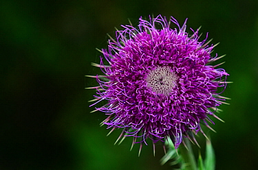 Musk thistle (Carduus nutans) flower. Dorset, UK, June.