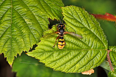 Thick-headed fly (Conops quadrifasciatus) resting on leaf at woodland edge Cheshire, UK, July