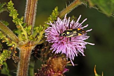 Bug (Grypocoris stysi) on Creeping Thistle (Cirsium arvense) flowerat the edge of woodland Cheshire UK August 55983