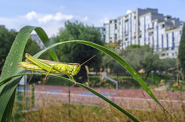 Meadow grasshopper (Chorthippus parallelus) in urban habitat, Grenoble, France, September.