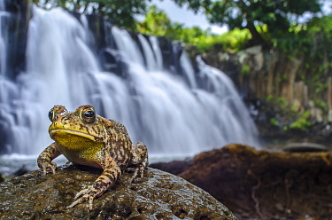 African common toad / Gutteral toad (Bufo gutturalis) in front of waterfall. Mauritius. Introduced species.
