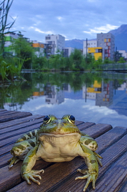European edible frog (Rana esculenta) in urban park, next to pond with buildings in distance, Grenoble, France, May.