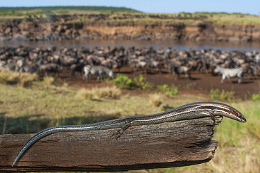 Striped skink (Mabuya striata) and herd of zebra and wildebeest, Kenya, July.