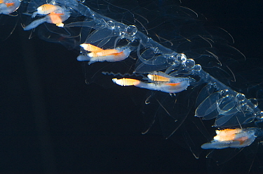 Siphonophore (Nanomia cara) close up, from the Gulf of Maine, Atlantic Ocean. Epipelagic species found up to 300m depth.