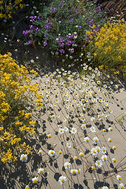 Sea chamomile (Anthemis maritima), Sea stock (Mattiola sinuata), and Shrubby Everlasting (Helichrysum stoechas) flowers in sand dunes, Camargue, France. May.