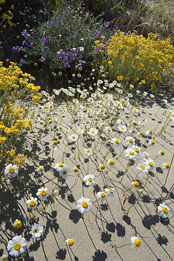 Sea chamomile (Anthemis maritima), Sea stock (Mattiola sinuata), and Shrubby Everlasting (Helichrysum stoechas) flowers in sand dunes, Camargue, France. May.