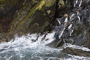 Macaroni penguins (Eudyptes chrysolophus) returning to colony on Bird Island, South Georgia.