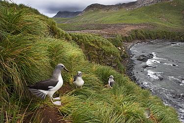 Grey-headed albatross (Thalassarche chrysostoma) colony at Elsehul, South Georgia, January