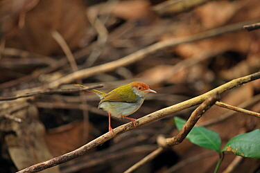Common tailorbird (Orthotomus sutorius) perched. Sri Lanka.