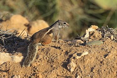Barbary ground squirrel (Atlantoxerus getulus) Morocco.