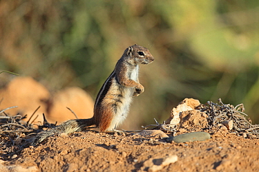 Barbary ground squirrel (Atlantoxerus getulus) standing on hind legs. Morocco.