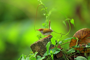 Common tailorbird (Orthotomus sutorius) perched with tail up. Sri Lanka.