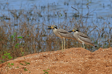 Great thick-knee (Burhinus recurvirostris) two standing side by side, Sri Lanka.