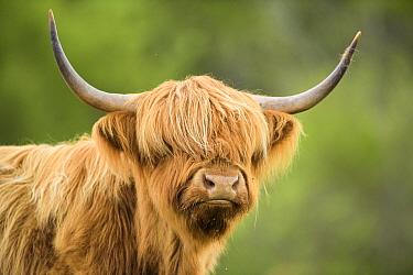 Highland cow portrait, Mull, Scotland, May.