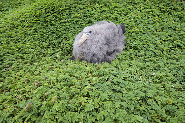 Northern giant petrel (Macronectes halli) chick sits upon a bed of (Acaena minor var. antarctica) a prostrate dicotyledonous herb at Enderby Island in the subantarctic Auckland Islands archipelago, Ne...