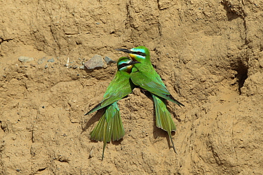 Blue cheeked bee eater (Merops persicus) pair in colony, Oman, April