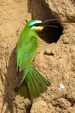 Blue cheeked bee eater (Merops persicus) at nest entrance, Oman, April