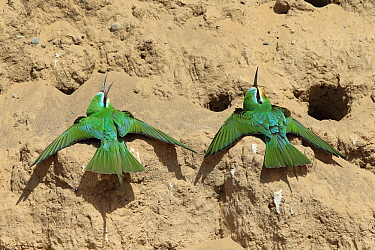 Blue cheeked bee eater (Merops persicus) two sunning, Oman, April