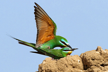Blue cheeked bee eater (Merops persicus) copulation, Oman, April