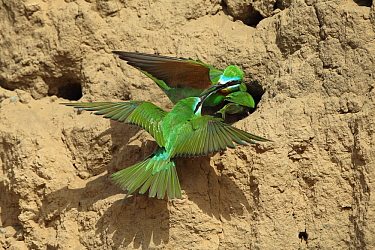 Blue cheeked bee eater (Merops persicus) fighting between pair at nesthole and intruder, Oman, April