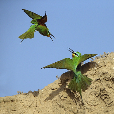 Blue cheeked bee eater (Merops persicus) two squabbling, Oman, April