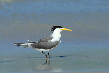 Greater crested tern (Thalasseus bergii) walking in shallow water, Oman, May