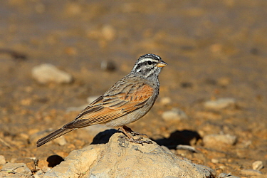 Striolated bunting (Emberiza striolata) on small rock, Oman, February