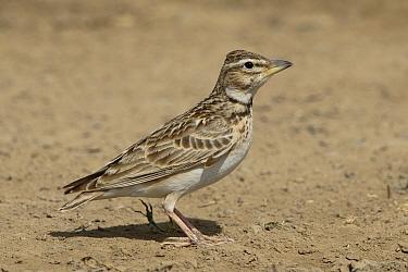 Bimaculated lark (Melanocorypha bimaculata) Oman, February
