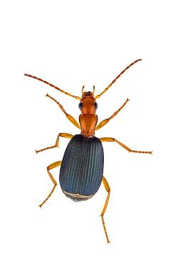 Bombardier beetle (Brachinus alexandri) Berekhat Yaar, Central Coastal Plain, Israel. Focus-stacked and cropped.  Meetyourneighbours.net project
