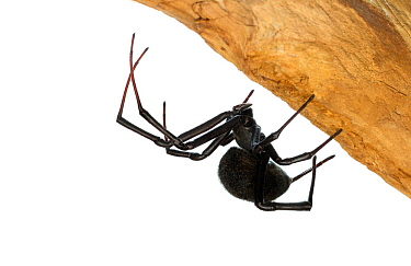 Mediterranean black widow spider (Latrodectus tredecimguttatus).  Central Coastal Plain, Israel. Focus-stacked and cropped. Meetyourneighbours.net project