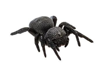 Ladybird spider (Eresus sp.), a massive female. Central Coastal Plain, Israel Meetyourneighbours.net project