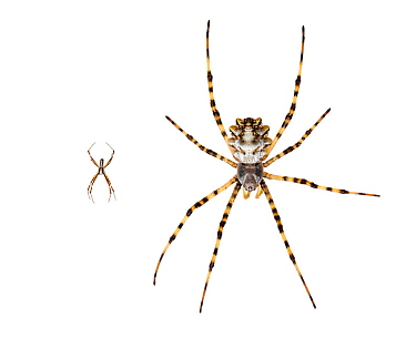 Pair of Silver argiope spiders (Argiope lobata).Nahal Alexander, Central Coastal Plain, Israel  June 2015. Meetyourneighbours.net project