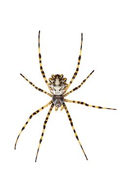 Silver argiope spider (Argiope lobata) female, Nahal Alexander, Central Coastal Plain, Israel. Meetyourneighbours.net project