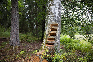 Artwork in progress by Trude Johansen -  shallow drawers / shelves cut into trunk of Beech tree (Fagus sylvatica), where drawings of threatened insects will be placed. Valer, Ostfold County, Norway. J...