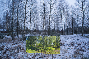 Summer forest in winter, landscape through changing seasons - photograph by Pal Hermansen 'The passage of time' of the same scene in summer,   Valer, Ostfold County, Norway. January 2015.