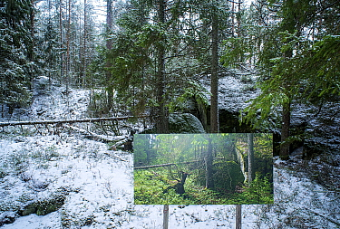 Landscape through changing seasons - photograph by Pal Hermansen 'The passage of time' of the same woodland scene in summer,   Valer, Ostfold County, Norway. January 2015.