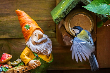 Garden gnome and Great tit (Parus major) feeding on peanut butter from bird feeder, Belgium, May.
